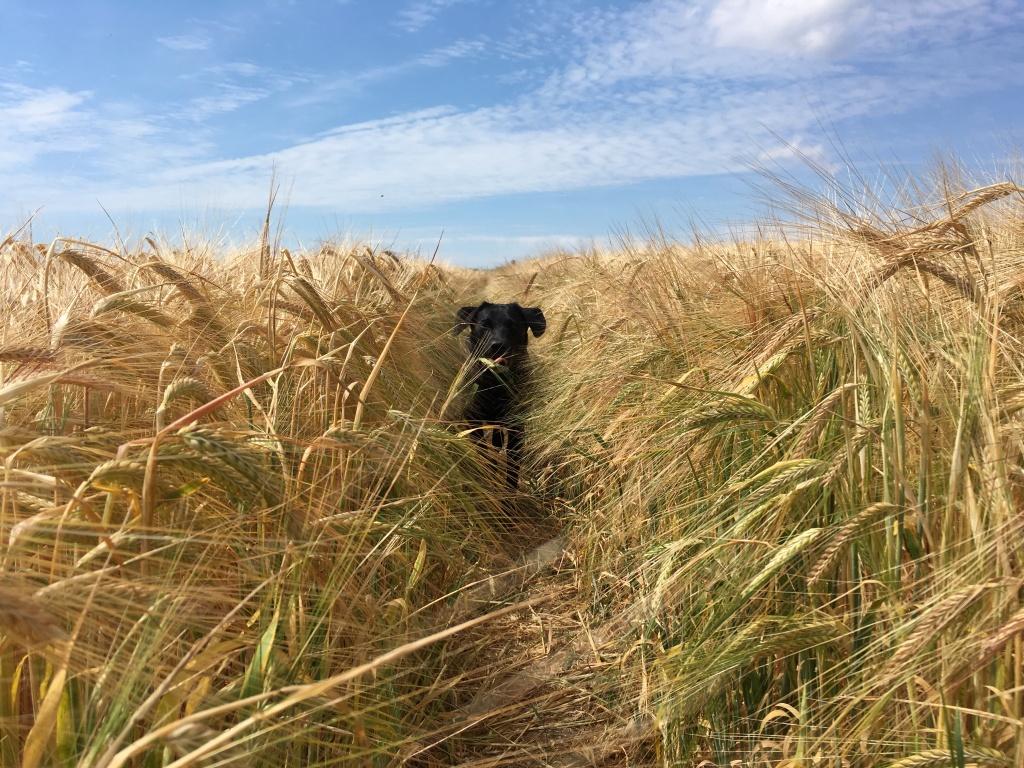 dog running gundog training