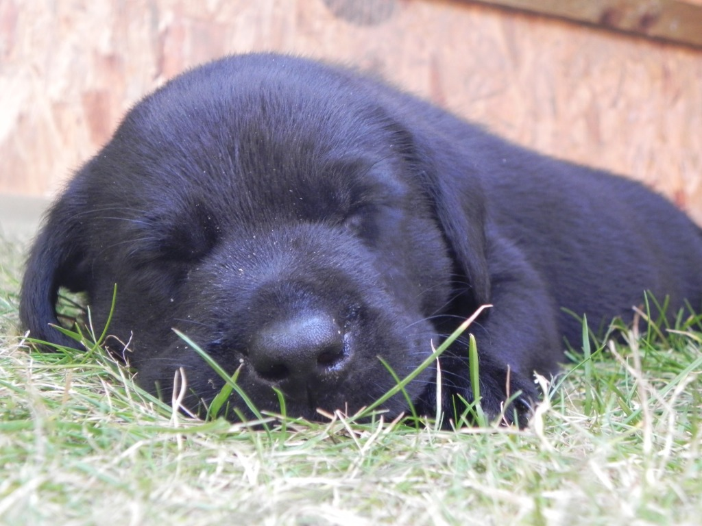 puppy training labrador